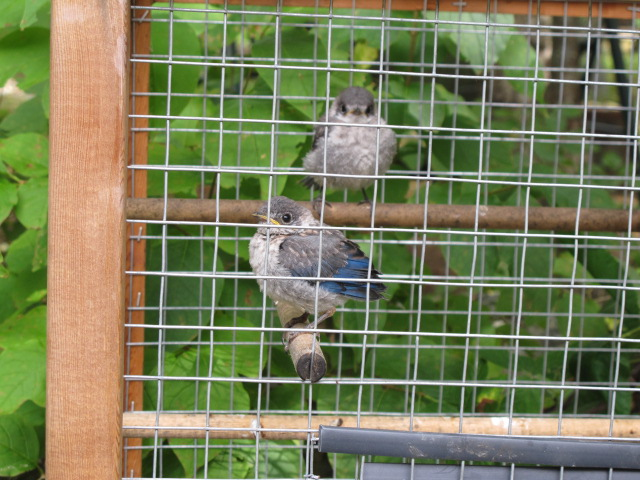 Before our Schoodic hike, we stopped at the Birdsacre sanctuary in Ellsworth, where these two abandoned baby bluebirds were among the avian creatures being cared for.
