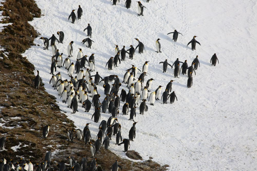 Some of the penguins went off to frolic on a snowy hillside at the back of the beach.