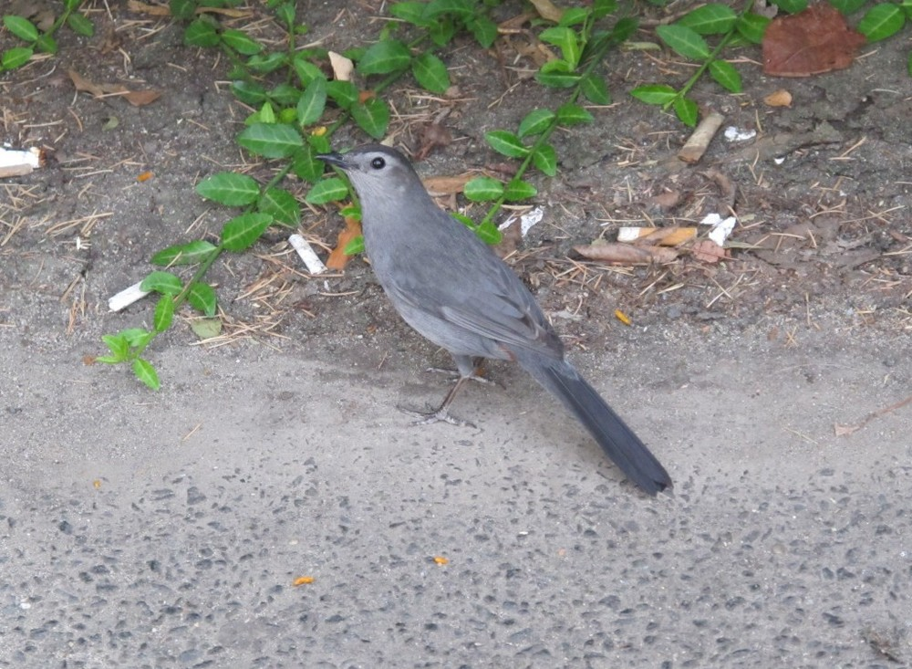 A gray catbird was hopping around under a few park benches. I didn't get to hear any of its vocalizations and I couldn't see the rusty patch under its tail, but it was fun to watch it mingling with similarly scavenging sparrows..