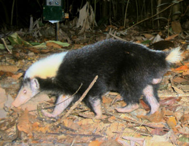 O.K., you knew I had to show you a stink badger, right? These animals live only in Indonesia, Malaysia and the Philippines and they produce a foul emission from their anal glands. DNA evidence shows that they and the skunks we know went their separate evolutionary ways from a common ancestor about 20 million years ago.