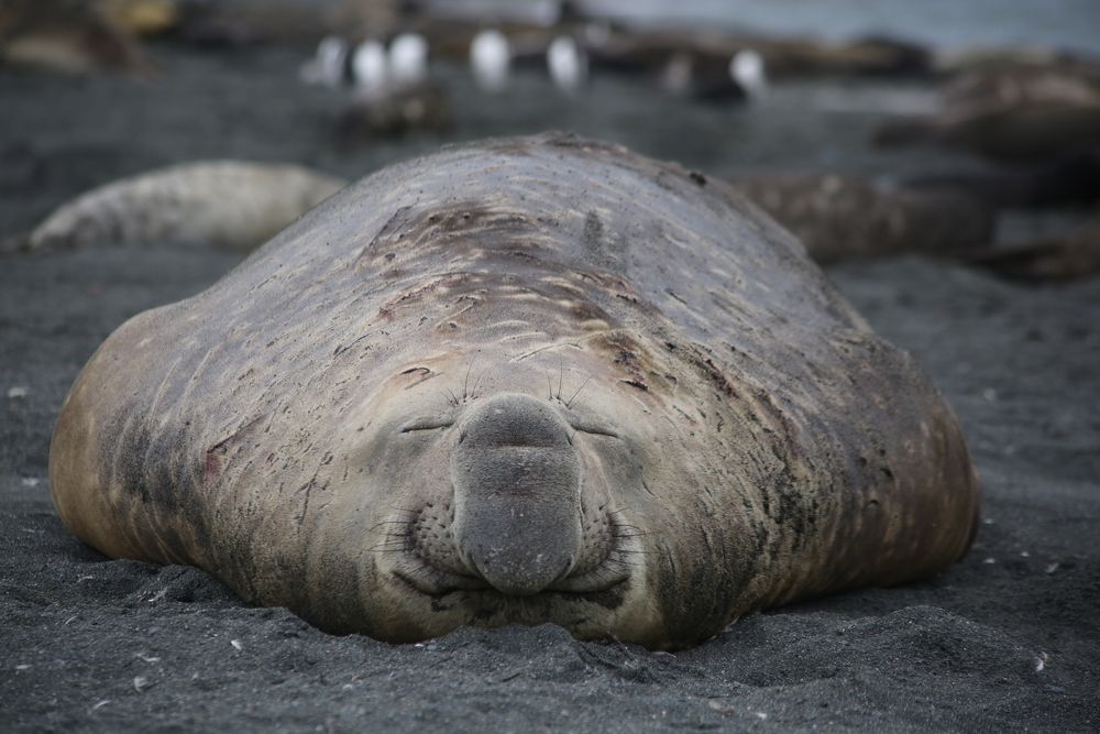 "Multi-ton male southern elephant seals—known as ""beachmasters,"" ruling large swaths of the shore and ""harems"" of up to 100 females ( see our Dec. 9 post, below ) —relaxed in the sand..."
