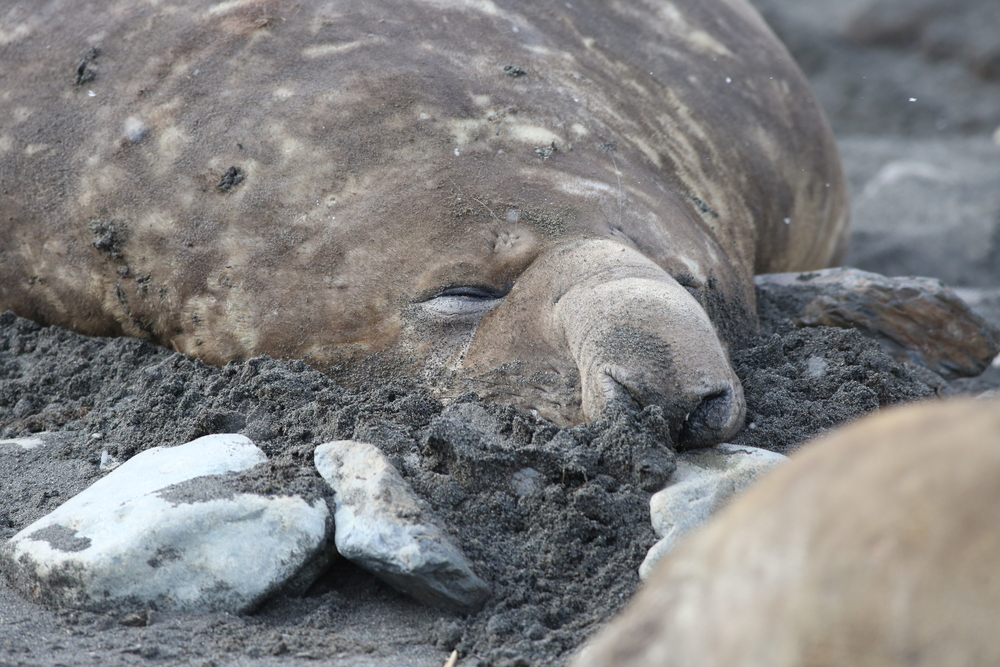 The snout that gives the elephant seal its name enables a bull like this one to trumpet his deep, lion-like roar across the entire beach. It also helps him conserve moisture when breathing, an important function when the bull is on land in breeding season and can't leave the beach to feed.