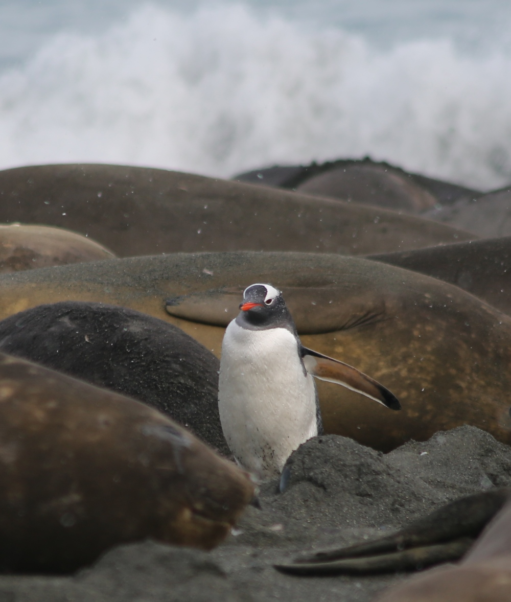 This one may look small (and, might I add, courageous) next to massive elephant seals, but gentoos, which stand 30 inches tall, are the third-largest penguin species after four-foot-tall emperors and three-foot-tall kings.