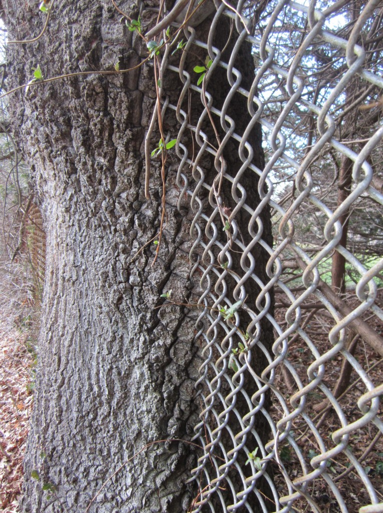Kathy also photographed another fence-swallowing display by a different tree.