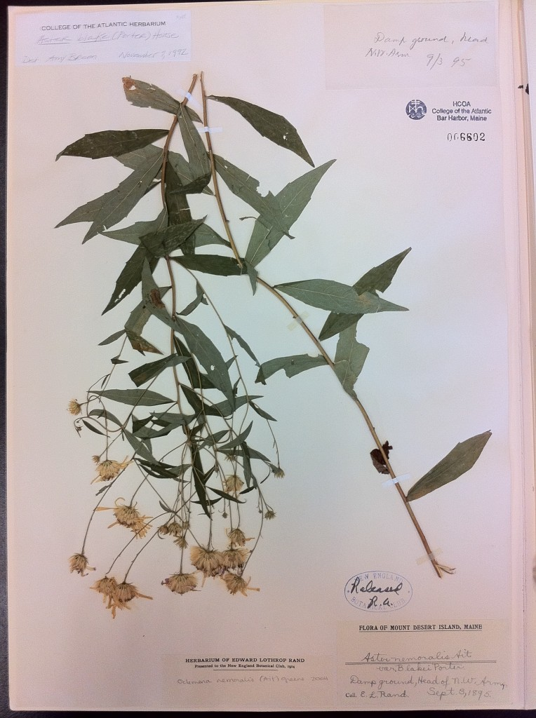 This is an herbarium specimen collected by Edward Rand, co-author (with John Redfield) of the 1894 book Flora of Mount Desert Island, Maine.
