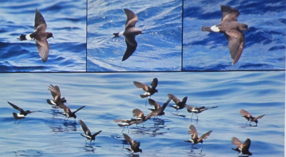 What are these birds? They were among the types shown during a bird-I.D. panel discussion at the Acadia Birding Festival on Thursday. O.K., we'll tell you. They're storm petrels.