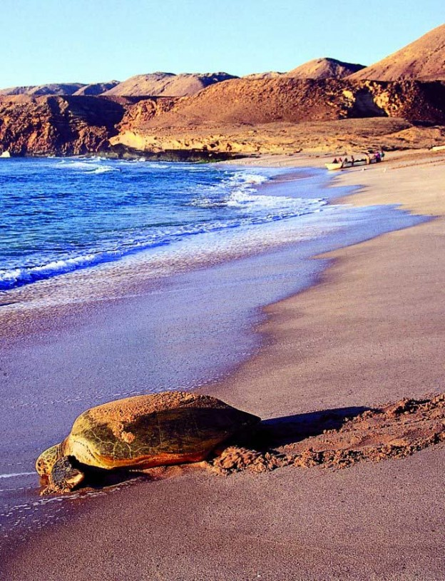 If you don't know much about Oman and its wildlife, here's a taste: One of the sea turtles that nest at the Ra's al Hadd Turtle Reserve on the Indian Ocean. Some 30,000 turtles nest here, as many of 13,000 of whom migrate in from the Arabian Gulf, the Red Sea and the East African coast.