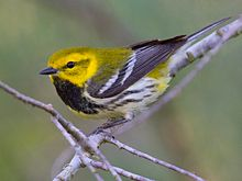 A black-throated green warbler.