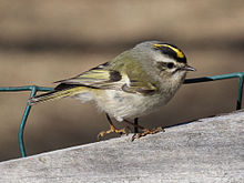 A golden-crowned kinglet.