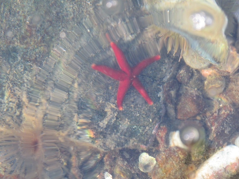 We started seeing the red starfish (or sea stars) that seem to be here—or to be that color—only at certain times of the year.