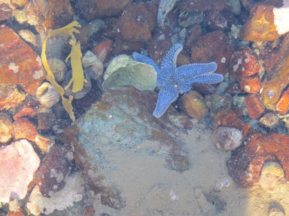 By going far from shore we also saw blue sea stars. Pamelia was shooting new images for her low-tide photo series for The Naturalist's Notebook. This shot wasn't good enough to make the cut; you'll see far cooler images if you come to the Notebook this year.