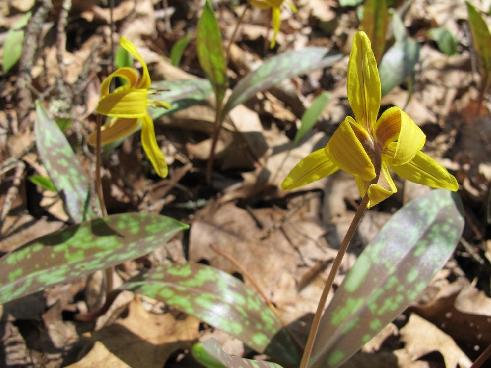 Our woods are blanketed with newly blossoming trout lilies, also known as dog-toothed violets. Notice the trout-like pattern on the foliage.