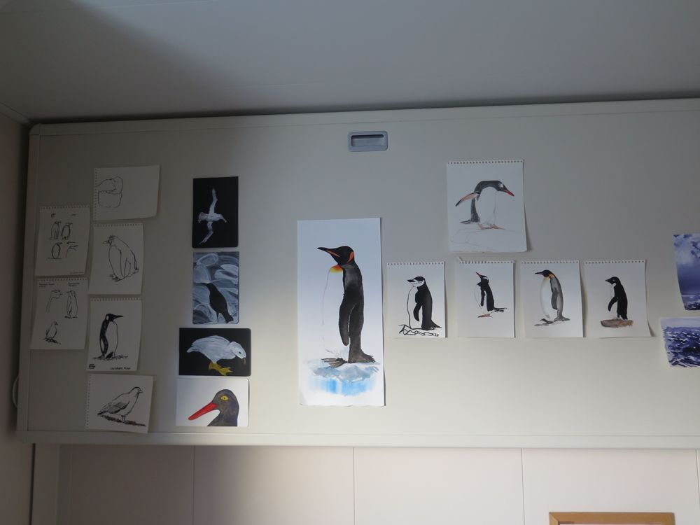 In our cabin, the gallery of Pamelia's penguin and Falkland Island bird studies was growing. That large study in the middle was her second time-lapse attempt at a king penguin—and still she felt that she did not get it right. But that's why you do multiple studies.