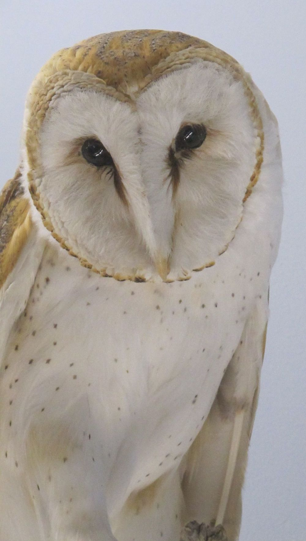 A barn owl specimen from the Malheur refuge's wildlife display.