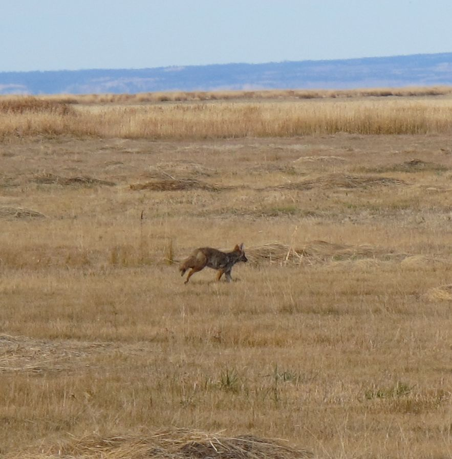 The coyote raced across a field, stopped, turned to look back at us, then ran off.