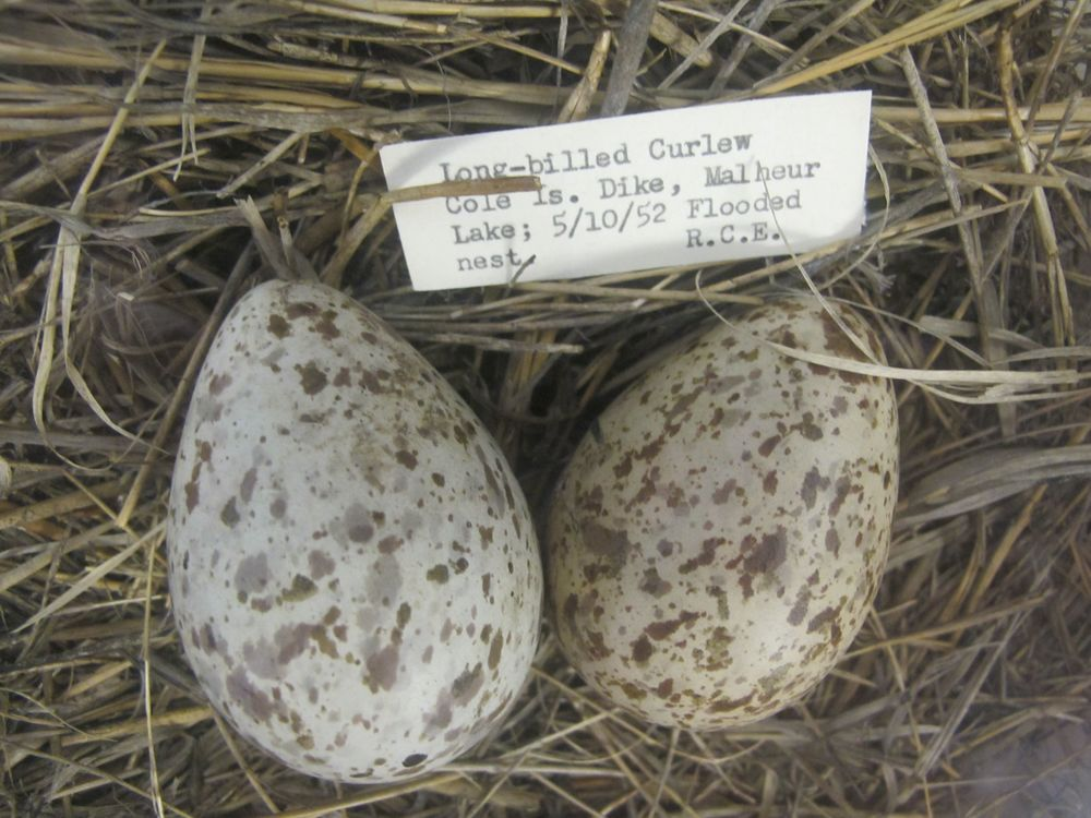 The refuge has drawers full of egg specimens, such as these from a long-billed curlew.
