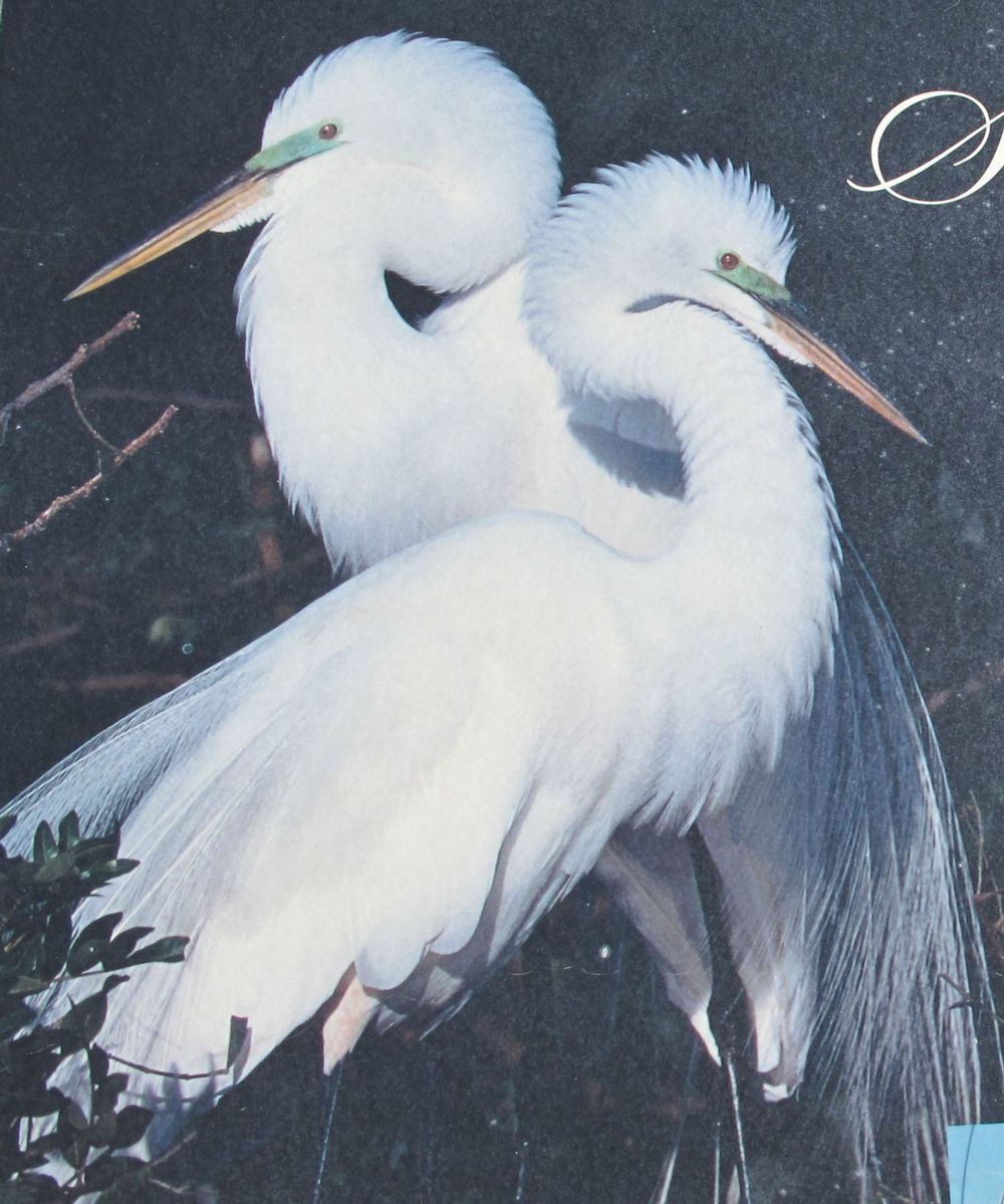 These are great egrets, a species brought to the verge of extinction by the craze for those fashionable hats.