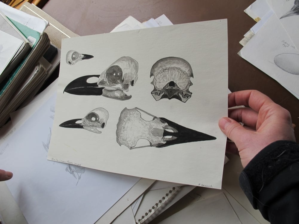 This illustration shows the skulls of a blue jay (upper left), a crow (lower left) and a raven, all members of the corvid family.