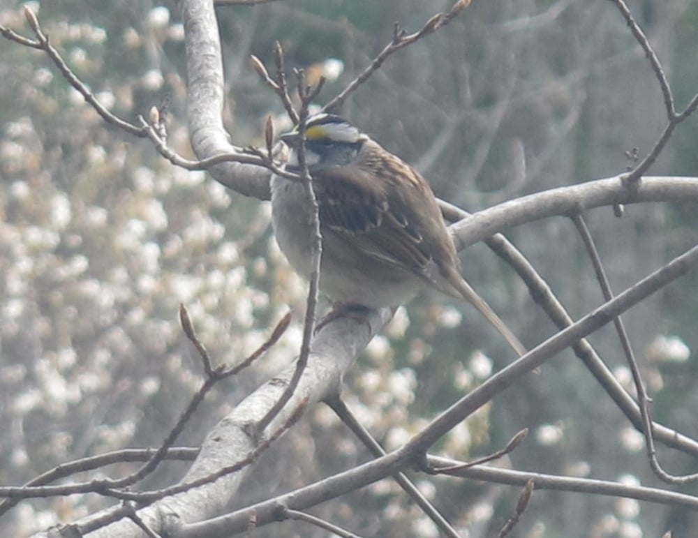 As we were getting ready to leave, we saw what Bernd said was the first white-throated sparrow he'd spotted this year.