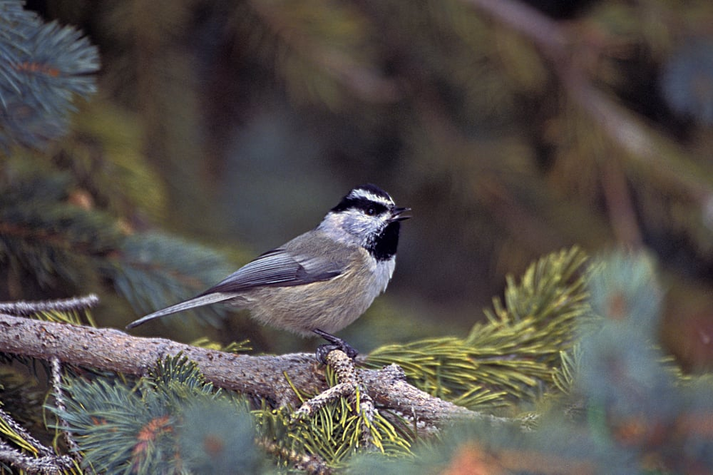 A mountain chickadee photographed in New Mexico.