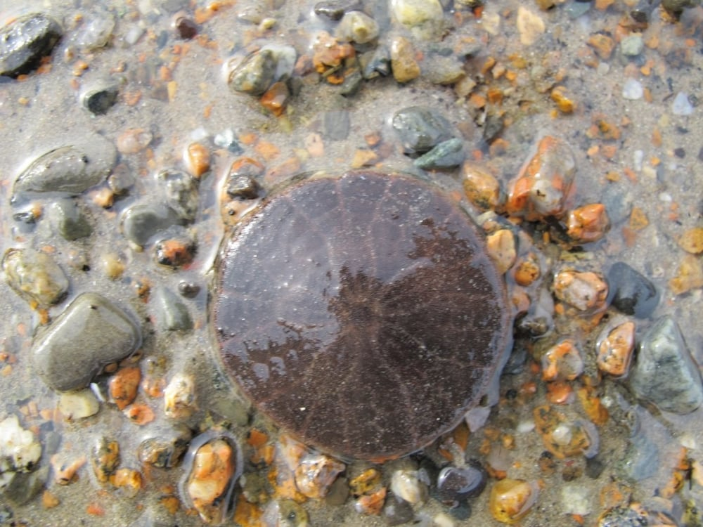 Another first: The first sand dollar we've seen this year, at very low tide at Seal Harbor beach. That beach has always been a sand-dollar hotspot—perhaps because there isn't much sand elsewhere on Mount Desert Island.