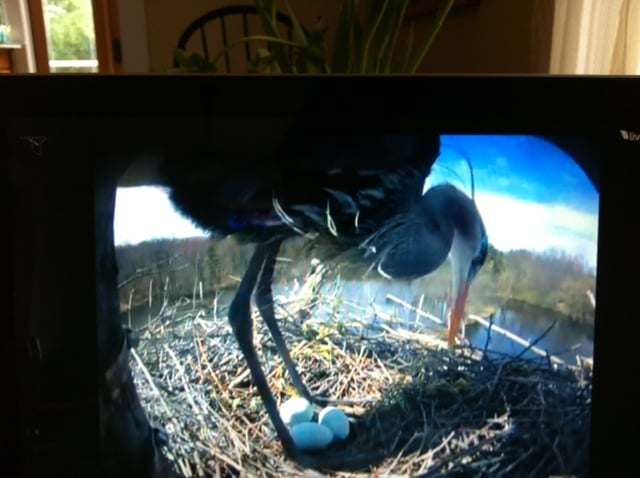 The heron cam is watching the nest 24 hours a day.
