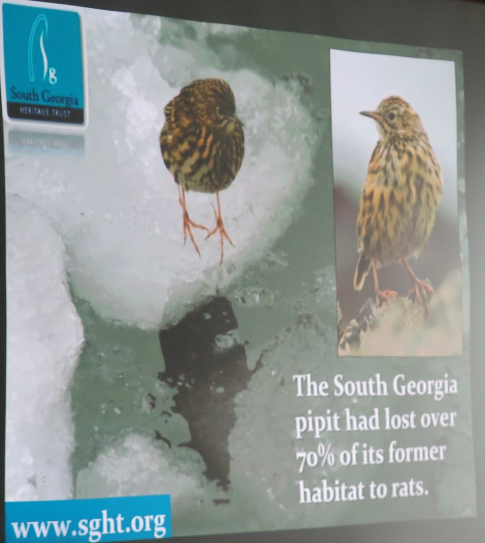 We learned in the lecture that the pipit is one of South Georgia's two endemic bird species.