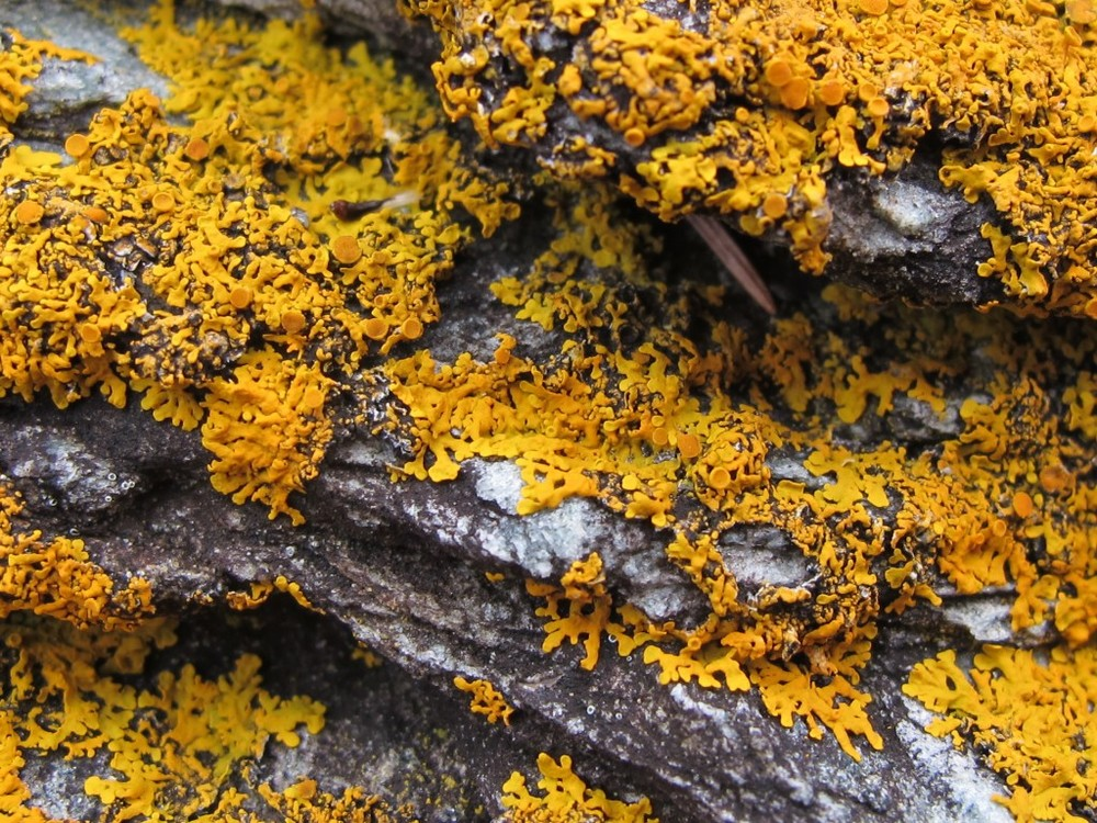 Yellow lichen on rocks along our shore. Lichens are lovely but strange. They're actually two organisms living in combination—algae cells linked with filaments of fungi.