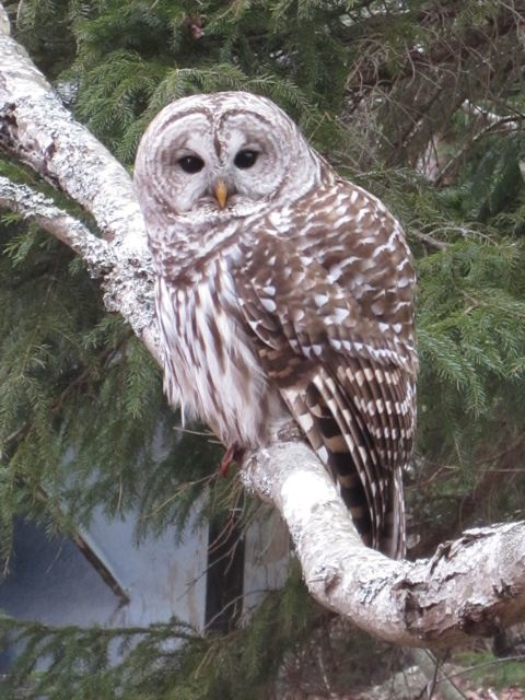 Here's the beautiful barred owl that Sarah photographed.