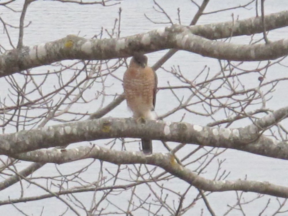 The raptor had its hawk eyes on our bird feeder—one of several clues that helped us as we tried to identify it.