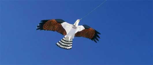 What species of kite is this kite?