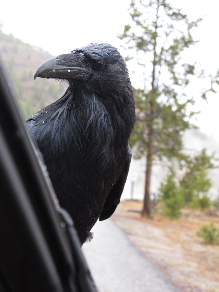 Here's a raven visitor Pamelia photographed as we drove through Yellowstone two years ago.