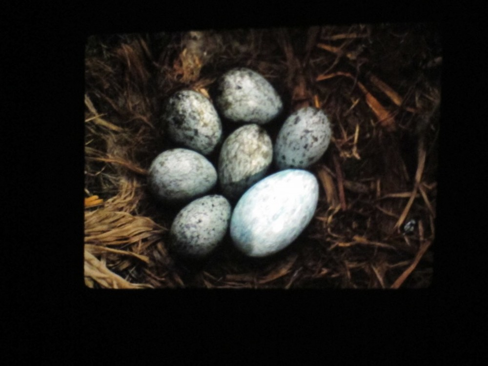 Bernd added one hen's egg (the large one) to a nest of raven eggs; the raven didn't notice the difference. Ravens sometimes eat other birds' eggs. Once, a mother raven regurgitated a whole, unbroken robin's egg to feed to its fledglings. Bernd, ever curious, removed the robin's egg from the nest and tried to hatch it, without luck.