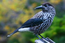 The spotted nutcracker.