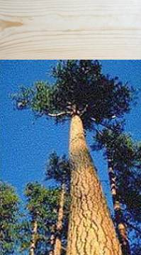 Siberian pine.
