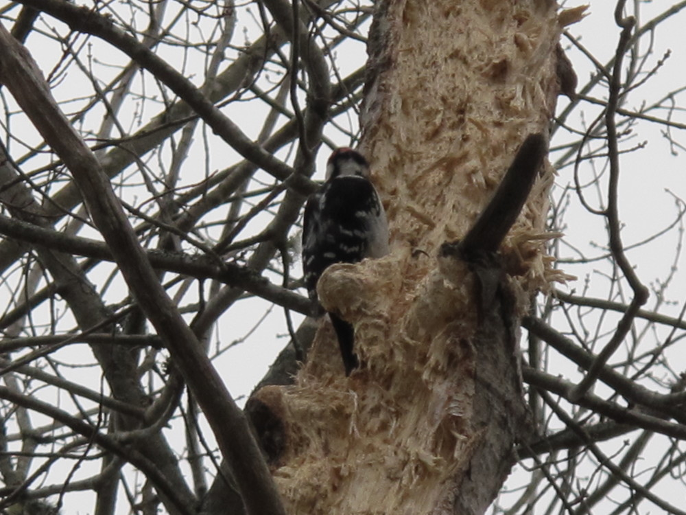 If the sloth represents one end of the indolence scale, this fellow tree-dweller must signify the other. The industrious hairy woodpecker we've been observing lately is turning this former evergreen into pulp at a rate of up to 20 hammer-pecks per second. Nature's little drummer boy?