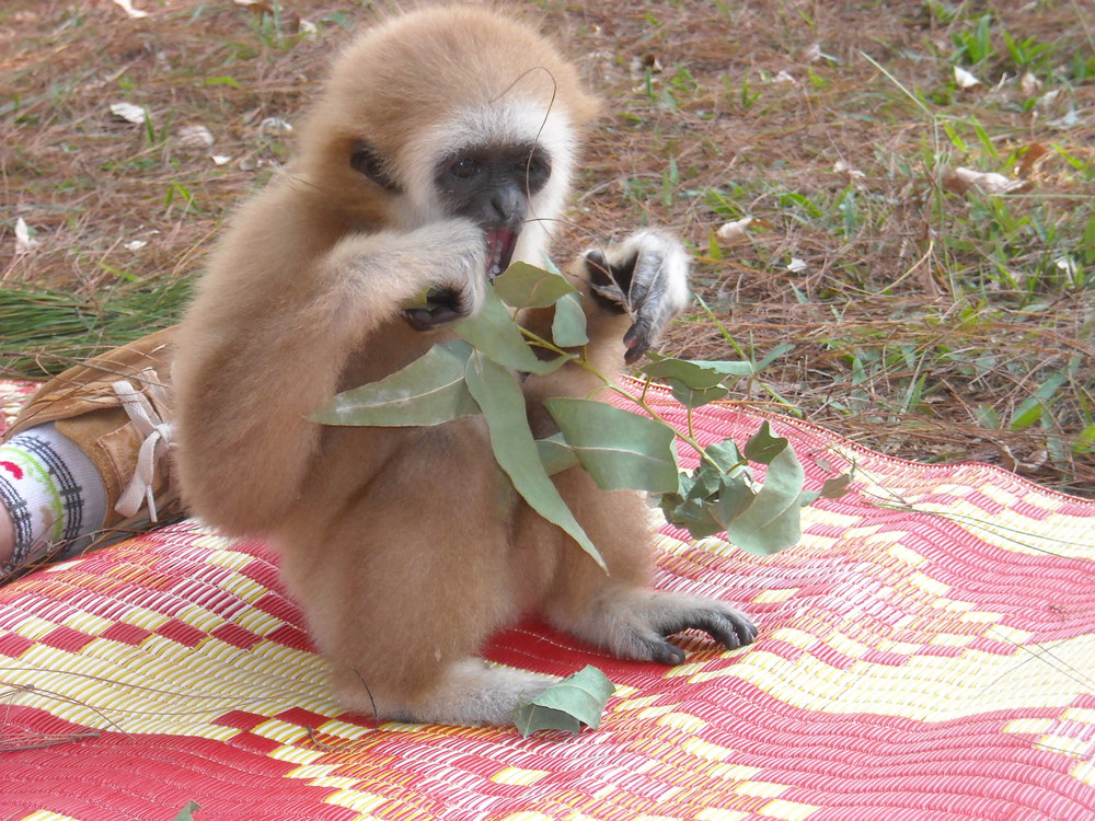 One of Virginia's photos from her time at the Highland Farm Gibbon Sanctuary in Thailand. As a holiday gift, you can help fund the care of an orphaned or abandoned gibbon.