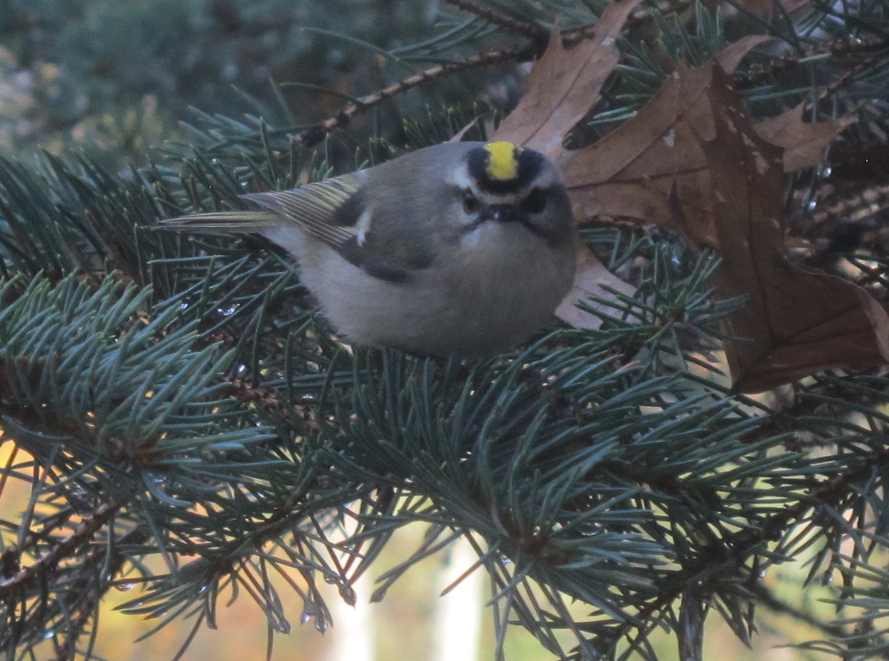 This kinglet flitted around the same tree that holds one of our feeders, but didn't have any interest in bird seed.