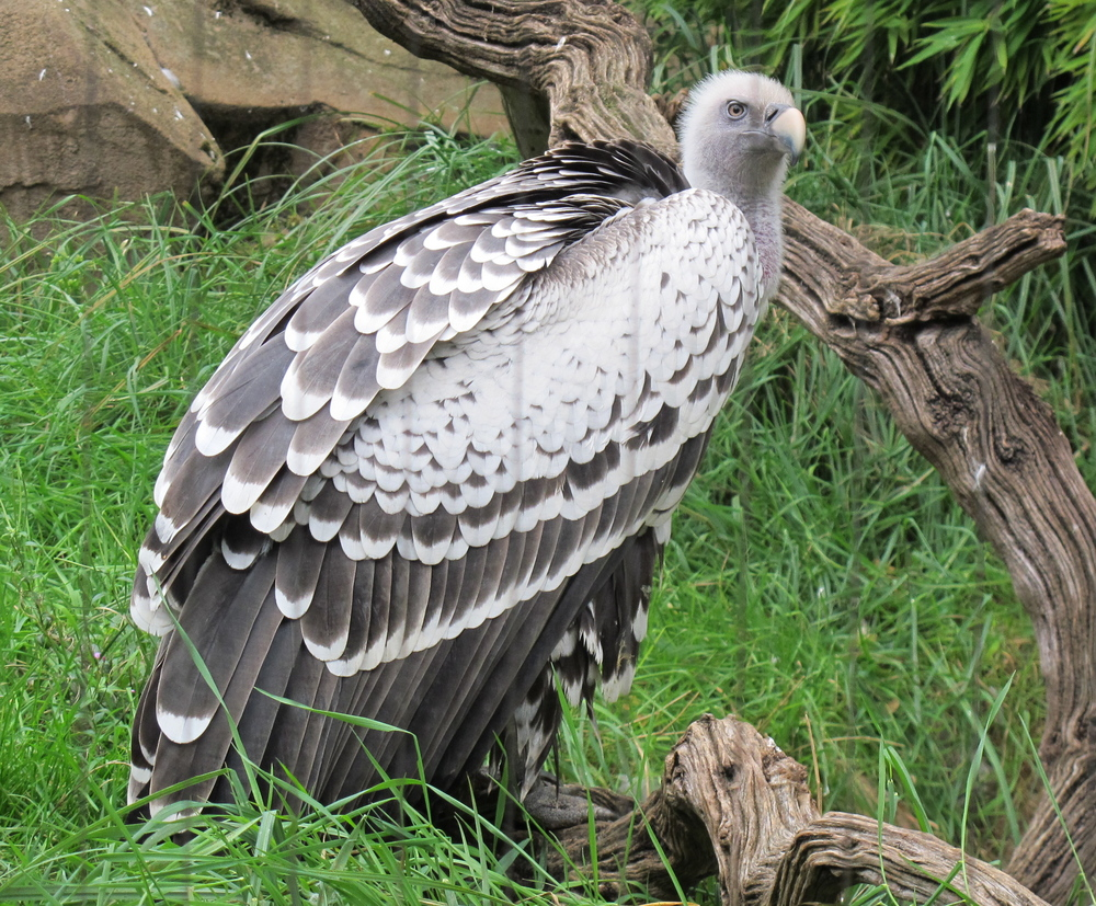 We tend to think of vultures as ugly, but this Ruppell's griffon vulture, a native of Africa, had an elegant beauty. In the air these birds are even more remarkable: A Ruppell's holds the record for the greatest flying height ever recorded by a bird—one collided with an airplane at 37,000 feet.