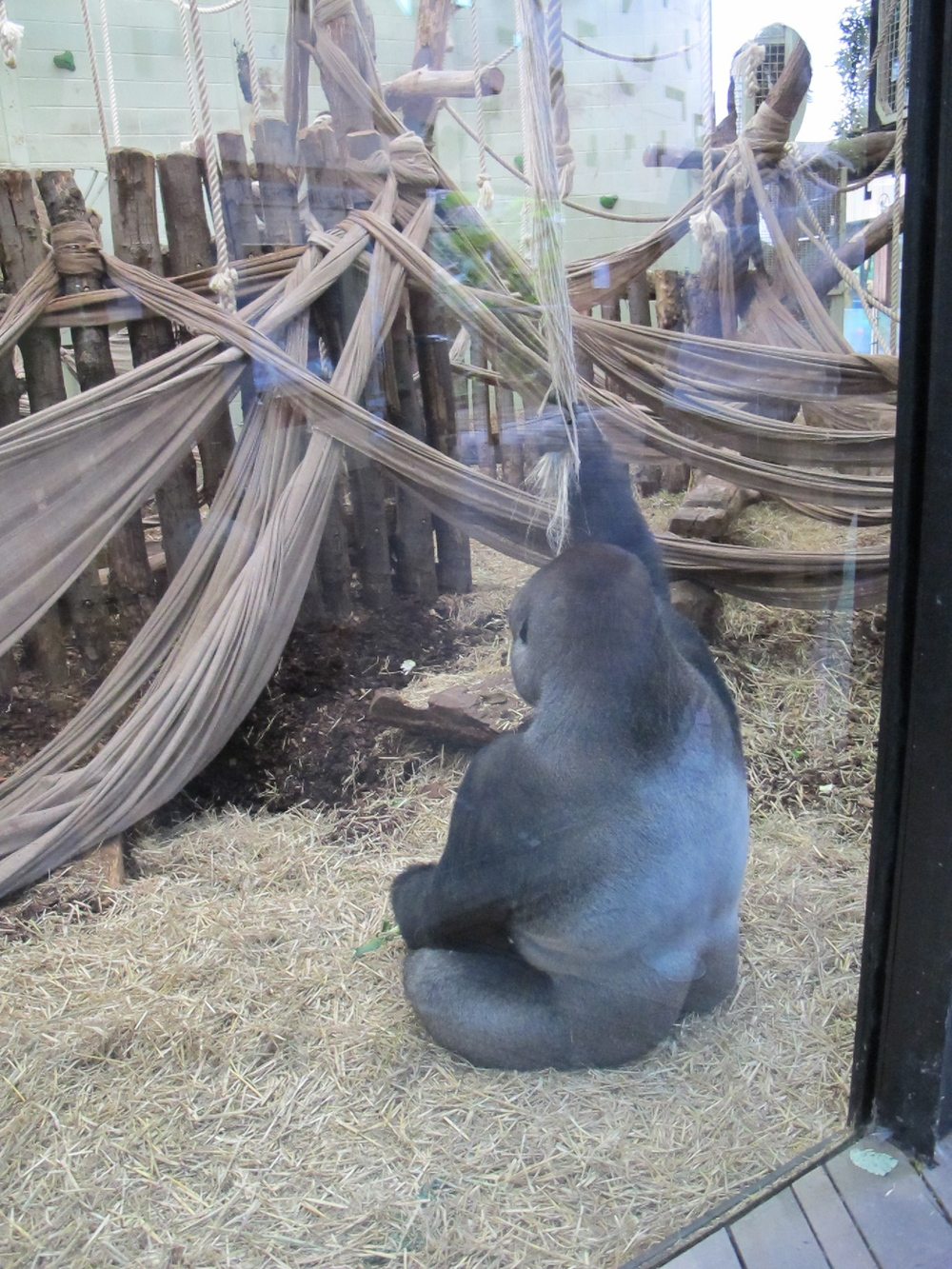The zoo is part of an international breeding program for western lowlands gorillas like this contemplative character, who seemed to yearn for something more than the climbing ropes and sheets at his glassed-in home.