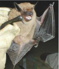 Big brown bats are one of the bat species that catch insects with their wing membranes and then shovel the insects into their mouths.