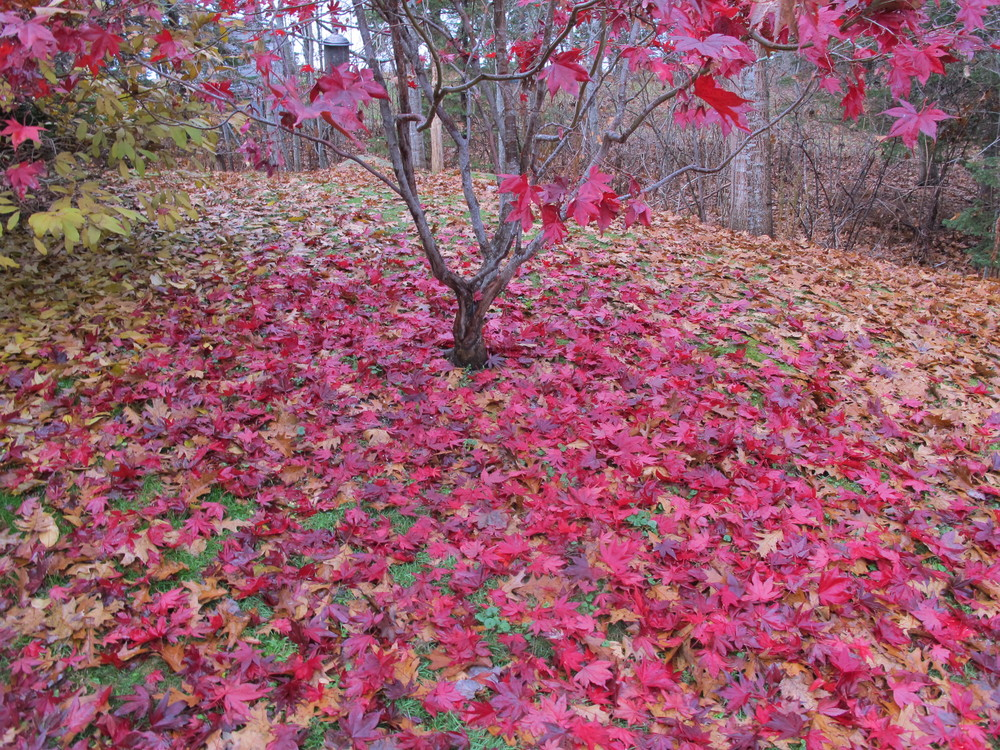 Why would oak, Japanese maple and rugosa rose leaves all fall off en masse on the same morning?
