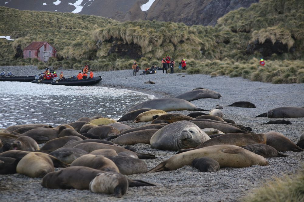The clumps of tussock grass were a wild backdrop for the beachful of elephant seals.
