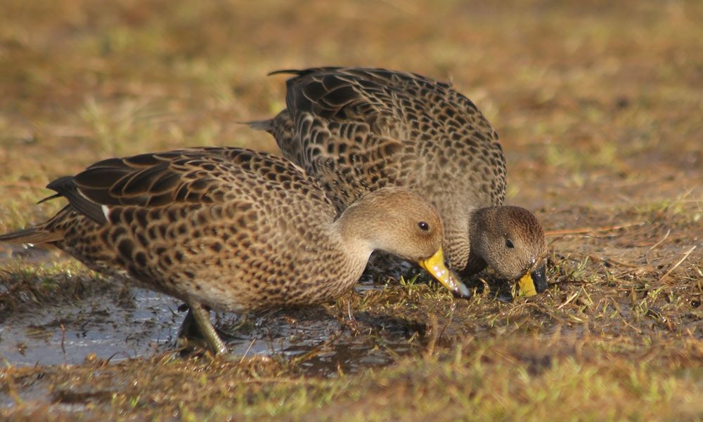 Pairs of South Georgia pintail ducks (which mate for life) fed in the boggy grass.