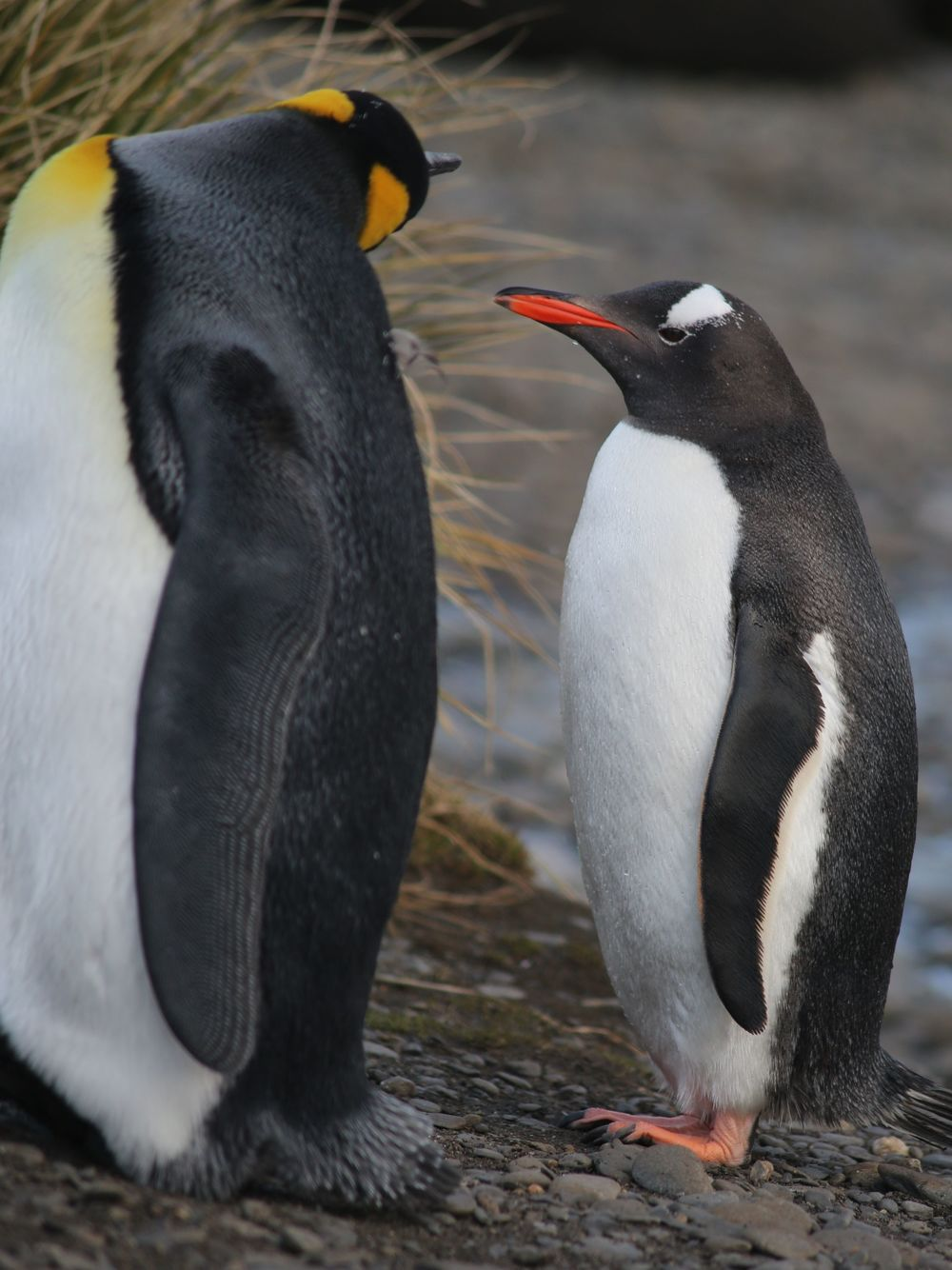 ...and met up with a king penguin cousin.