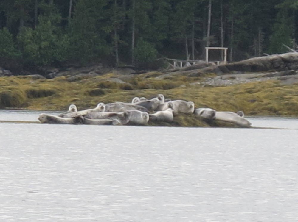 Zooming in on a distant, wobbly photo of some of the seals hanging out.