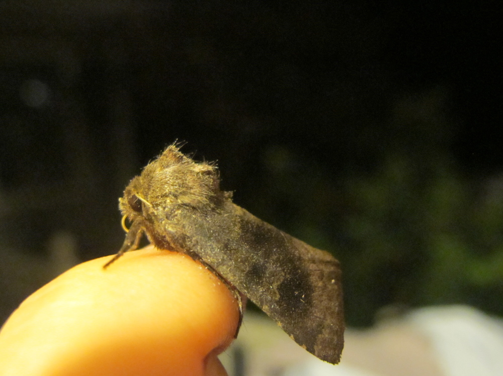 On close inspection, the moth appeared to have an unruly head of hair.