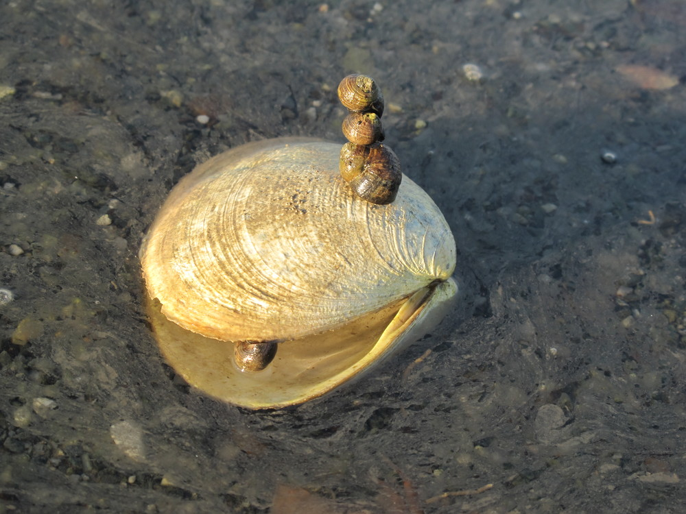 Periwinkle snails were stacked up everywhere, including atop clam shells, when we wandered through the low tide zone.