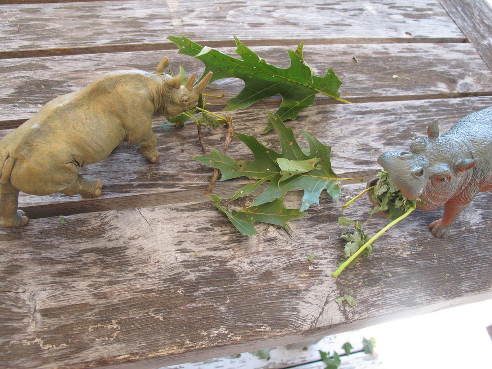 Maine safari? A visiting four-year-old created this museum-worthy diorama this week on an outdoor table. Both hippos and rhinos are herbivores who sustain their multi-ton bodies by eating grass (hippos) or grass, buds, leaves and fruit (rhinos).