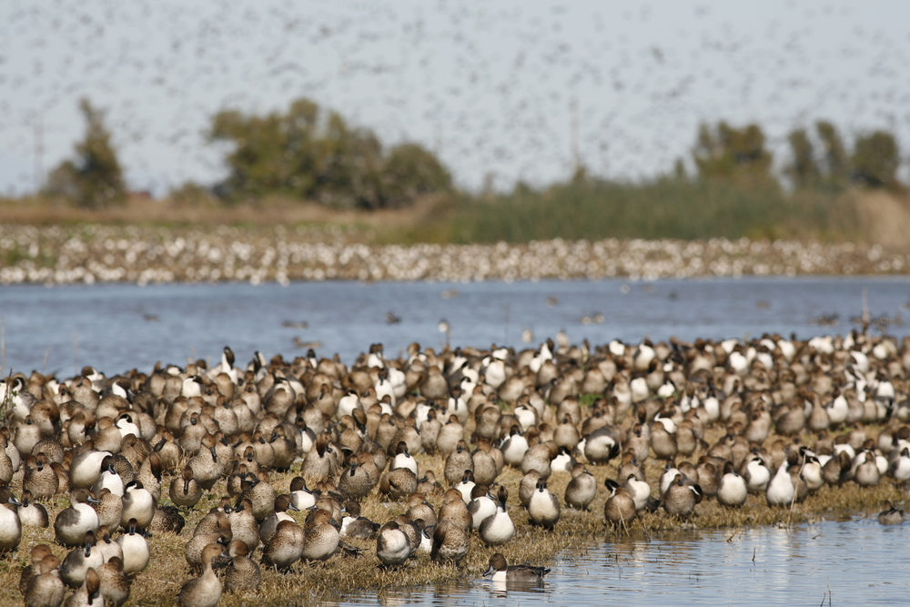 Some of the migrating waterfowl we saw at the Sacramento National Wildlife Refuge last fall.